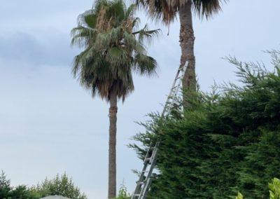 Elagage-palmiers-06-avant